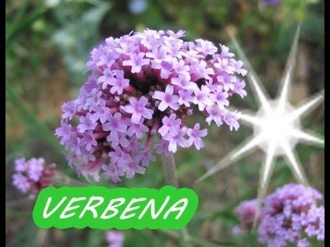 La Verbena, Beneficios y Propiedades para la Salud - YouTube