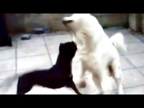 AKITA VS PITBULL TURNS INTO A REAL FIGHT....NEARLY!! SLOW MO!!