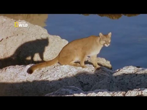 Пума: лев Анд - Puma: lion of the andes
