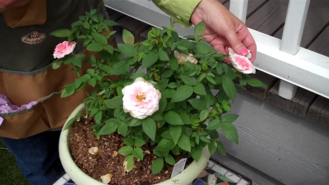 How To Deadhead Mini Roses Youtube