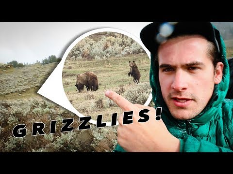 GRIZZLY BEARS GET TOO CLOSE IN YELLOWSTONE! 😱