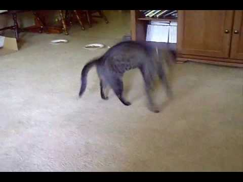 CRAZED CAT  ATTACK