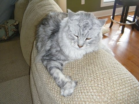 Big Maine Coon Cat Irritated Due to Rain
