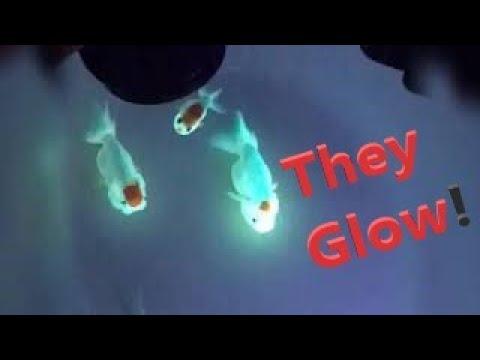 Glow Fish Fluorescent  Aquafluorescent Com