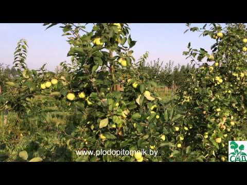 Ранние летние сорта яблонь, краткое описание, плодоношение в питомнике растений Сад. | растений | питомник | саженцы | яблоня | яблонь | яблоки | ранние | летние | сорта