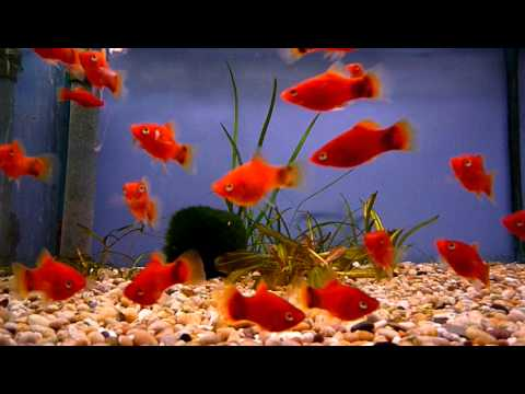 Red Mickey Mouse Platy @ Sweet Knowle Aquatics