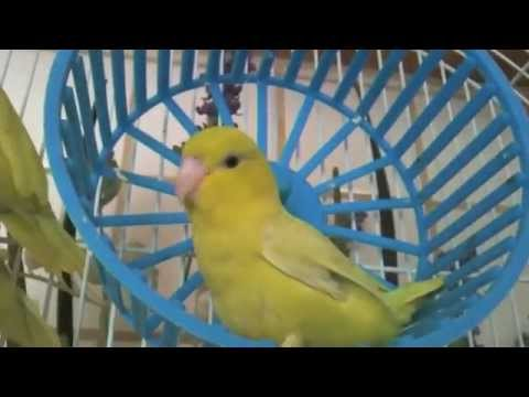 """Pacific Parrotlets - """"The Athletic American Yellow Parrotlet"""""""