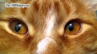 Наглая, рыжая морда) Tiger)...