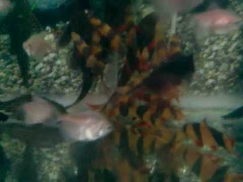 Cá chuột 3 sọc size 10cm