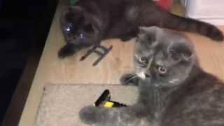Кошки британка и шотландка вислоушки.