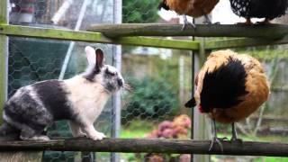 そのうち穴掘って虫食べちゃうんじゃないかとヒヤヒヤ。自分を完全にニワトリだと勘違いしているウサギ