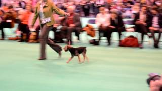 Best Dog Crufts 2013 Borderterrier