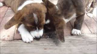 Cute Puppies + Ice Cubes (cardigan Welsh Corgi's Fos And Ebo At 11 Weeks)