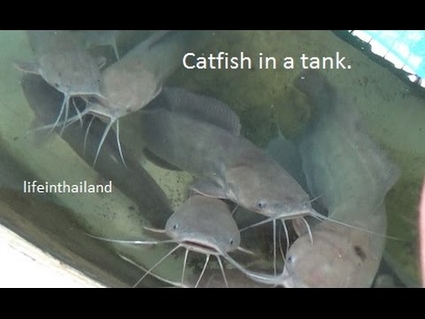 Large walking catfish having breakfast. - YouTube - photo#4