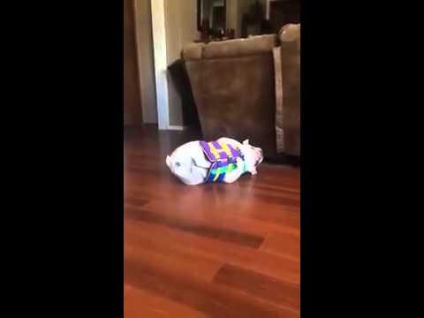 bulldog hates life vest youtube