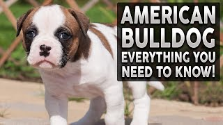 AMERICAN BULLDOG 101! Everything You Need To Know About Owning an American Bulldog Puppy!