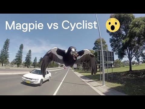 Magpie Attacks Cyclist In Australia 😱😱😱