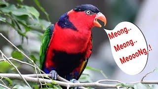 Burung Nuri Kepala Hitam yang Cerdas dan Unik, Bisa Bicara Meong Meong | Lorius lory