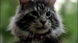 кот Мейн Кун (возраст - год, вес 6.3 кг)