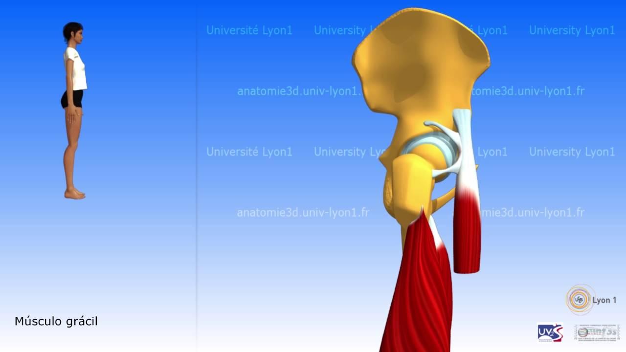 El muslo grupo muscular anterior el cuádriceps - YouTube