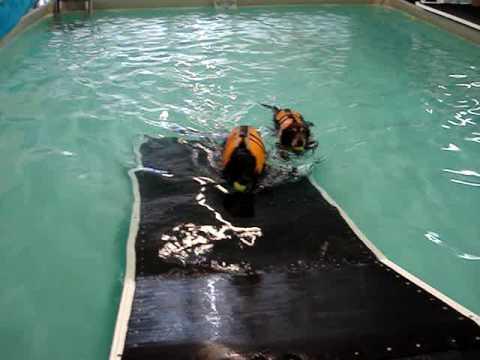Aqua therapy for aging labrador retreivers.