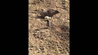 Kwoka z kurczętami 2016 :D