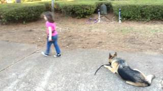 6 Year Old Learning to Handle Her Protection Dog - Abbie Training Abby