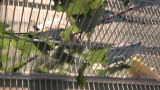 Budgies/Parakeet Feet