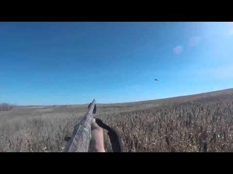 Ringneck Rooster Hunt