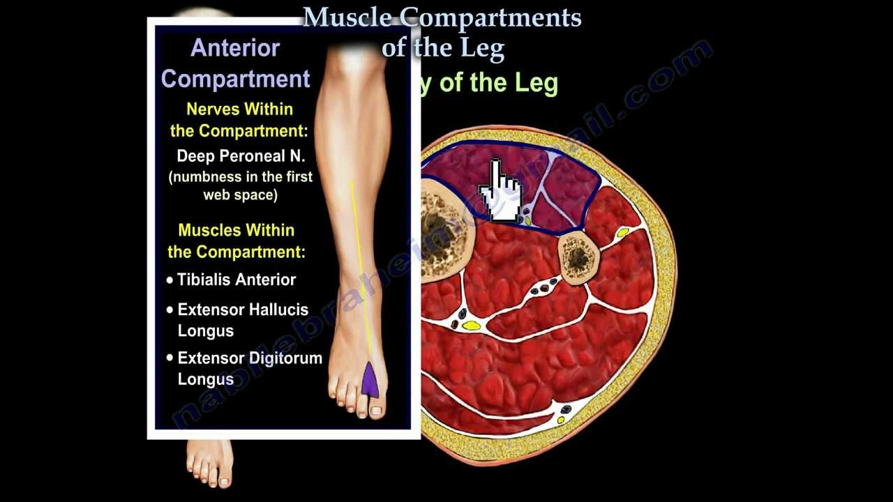 Muscle compartments of the leg everything you need to know dr muscle compartments of the leg everything you need to know dr nabil ebraheim ccuart Image collections