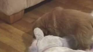Rfid Dog Collar:  Female Golden Retriever Puppies