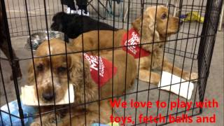 Rusty & Hunter Available Through Florida Cocker Spaniel Rescue