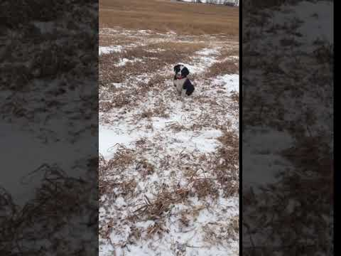 Stevie, Bordoodle puppy