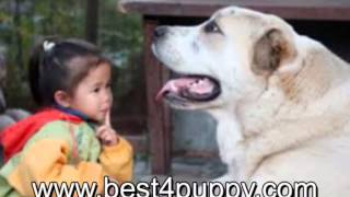 Азиат  или кавказская овчавка - характер, особенности