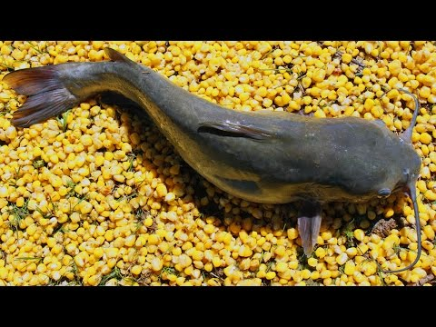 Fishing for catfish with corn - Cheapest catfish bait - Bank