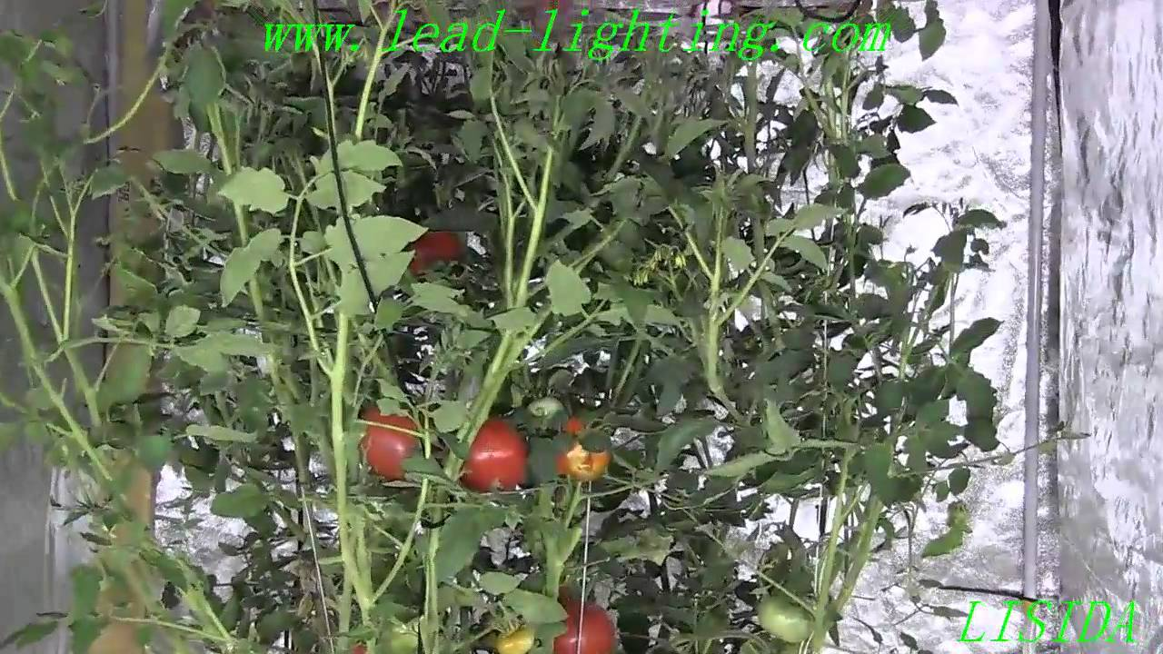 Growing Tomatoes Indoors Light Cycle