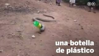 Una cobra en la India escupe una botella de plástico