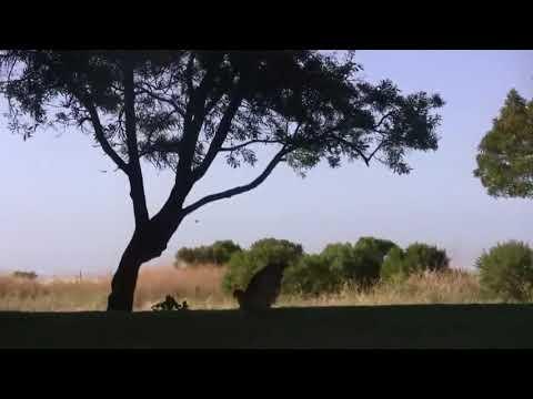 Орел спас детей от большой змеи, орел спас ребенка, бой орла и змеи, орел против большой змеи