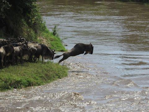 Gnu Crossing river Talek Maasai Mara KENYA