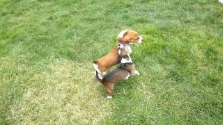 Beagle Puppy Vs Chihuahua