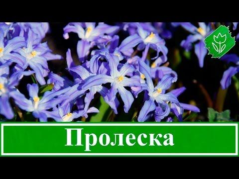 Цветы пролески (сцилла) – посадка и уход в открытом грунте: выращивание, виды и сорта пролески