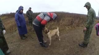 Обучение лабрадора на поиск человека