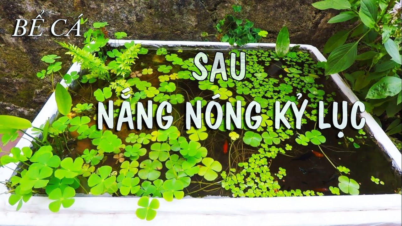 Bể cá bằng thùng xốp để ngoài trời sau đợt nắng nóng kỷ lục ở Hà Nội – Nước xanh màu rêu tảo