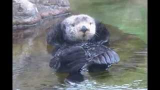 Sea otter: facial massage. Калан в неволе (90sp)