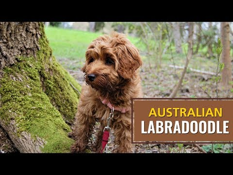 Australian Labradoodle Dog Owner's Best Guide