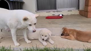 진돗개 강아지에게 개 껌 주었더니 ㅋㅋ 엄마 개가 하는…