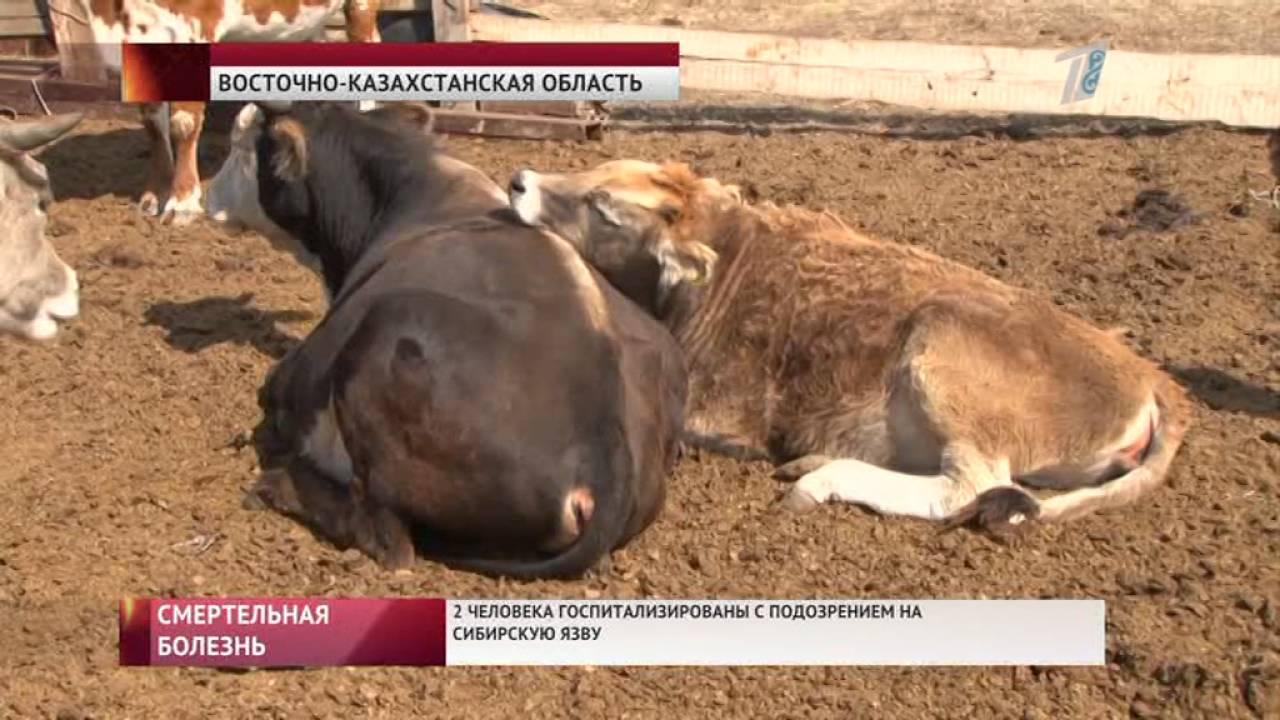 сибирская язва у коров фото