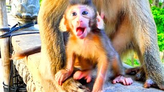 Adorable Pigtail Baby Monkey - How Cute Baby Monkey try to walk