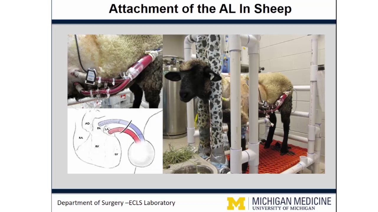 Animals in Artificial Organ Research - YouTube