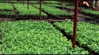 Coffee production and Fertilizer Use - NUCAFE & UTZ Certified